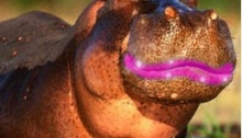 cara de hipopotamo