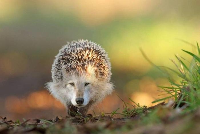 lobo-ouriço