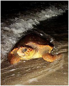 tartaruga comum