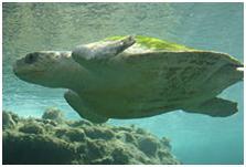 tartaruga de rio