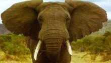 elefante paquidermes