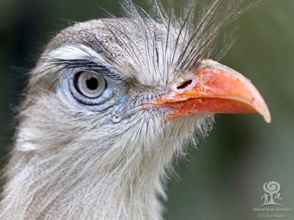 seriema_Foto_Carlos_Nader_Zoo_SP_FB-1