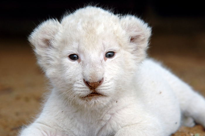 Filhote-de-leão-branco
